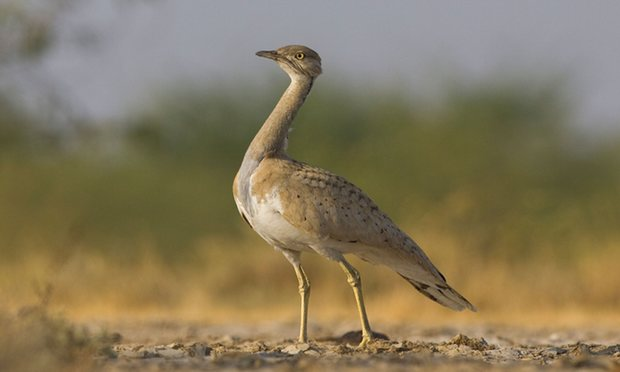 POLL: Should Arab sheikhs be allowed to hunt bustards?