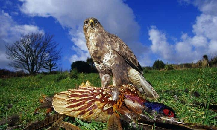 POLL: Should buzzards be killed to protect pheasants?
