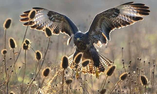POLL: Should the killing of buzzards to protect pheasants be allowed?