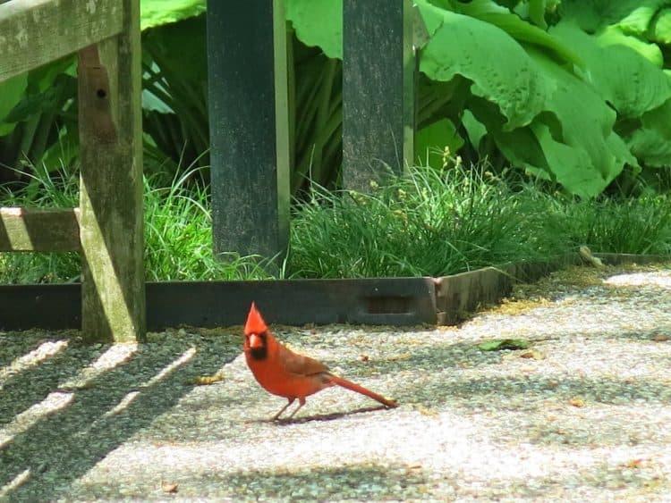 Cardinal, Read