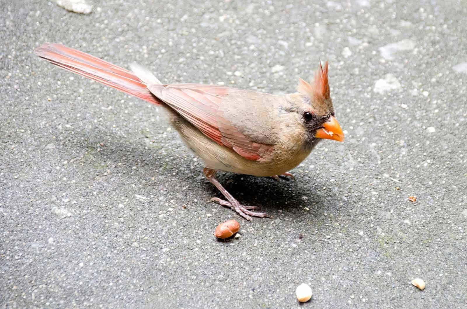 Cardinals Doing Fine