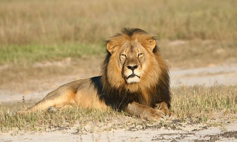 POLL: Should the US extend endangered species status to lions in Africa?