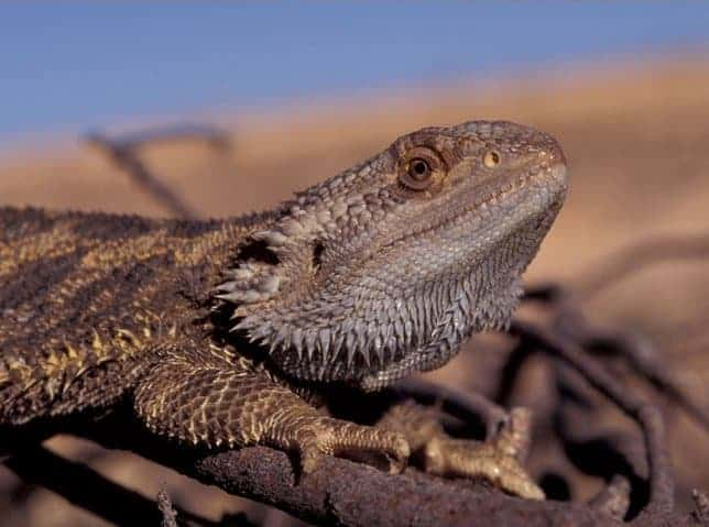 Central bearded dragons change sex when the heat is on