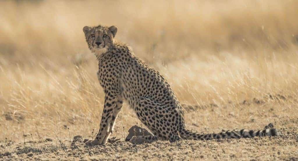 Cheetahs of Mashatu