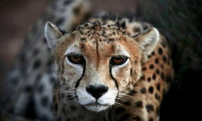 Only two female Asiatic cheetahs remain in wild in Iran