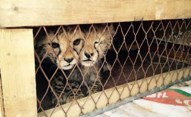 Cheetah cubs were saved from the illegal pet trade just in time