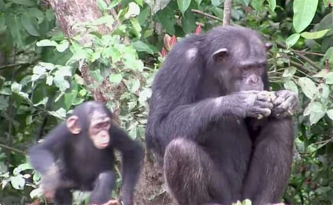 Huge Success! New York Blood Center Donates $6 Million to Abandoned Chimps