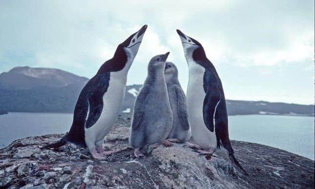 Huge penguin colony at risk from erupting volcano