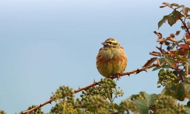 British farmland bird bounces back from brink of extinction