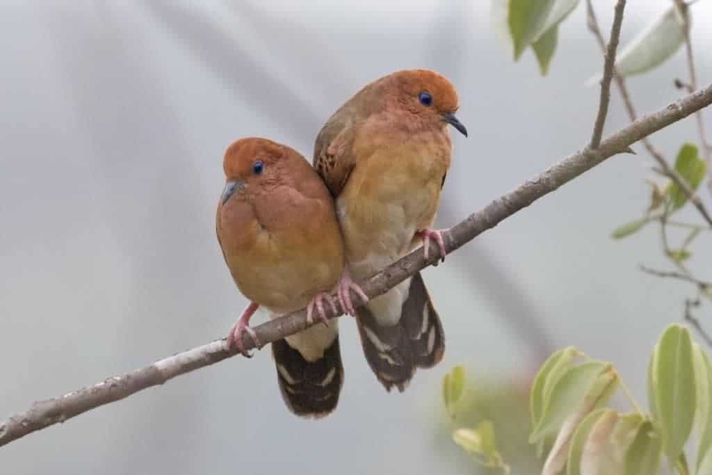 Blue-eyed Ground-dove rediscovered in Brazil