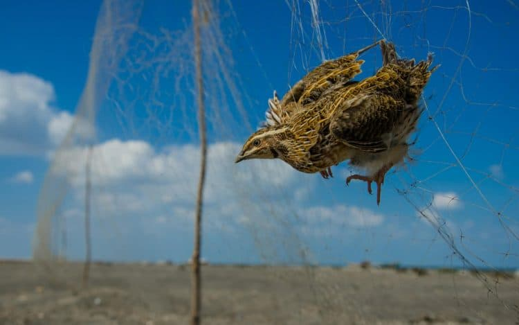 Scale of illegal bird killing in the Middle East revealed for first time
