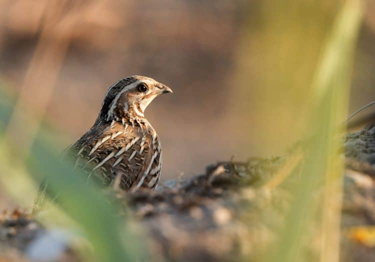 This shy bird can escape a birdwatcher's eye, but not illegal trappers' nets