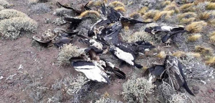 23 Condors Killed by Poison in Argentina