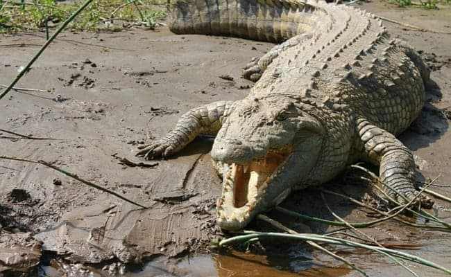Trophy Hunter Gets Eaten by Crocodiles