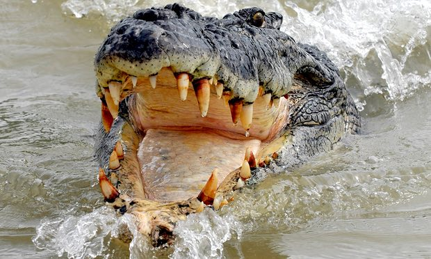 POLL: Should crocodile hunting be legalized in Australia?