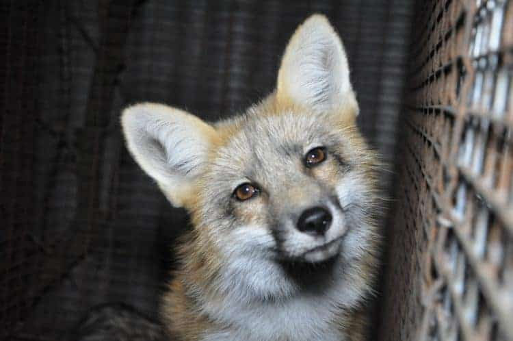 POLL: Should fur farming be banned in the European Union?