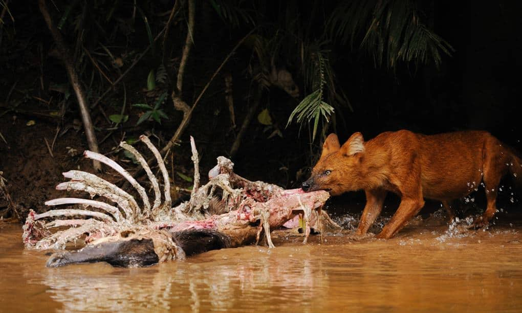 Saving the dhole: The forgotten 'badass' Asian dog more endangered than tigers