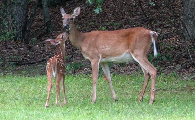 Upscale Neighborhood Outraged by Resident's Shooting of Doe and Fawn