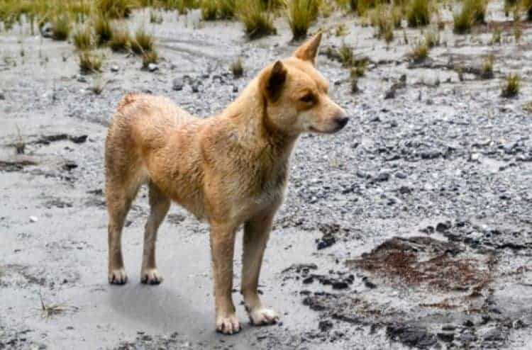 Video: 'Extinct' Mountain Dogs rediscovered in the wild