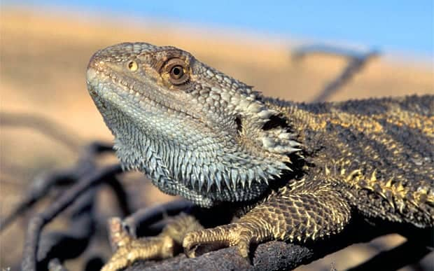 Scientists discover lizard that changes sex in the sun
