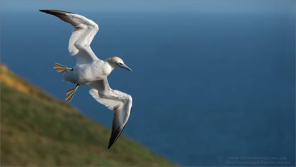 dsc 6129 northern gannet 1200 web