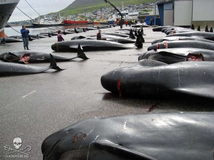 Murder Most Foul in the Faroes
