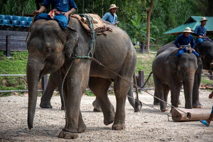 Elephants Found Distressed and Mistreated at Maesa Elephant Camp in Thailand