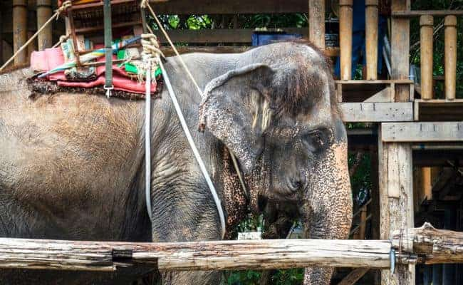 POLL: Should Asia's elephant tourism be banned?