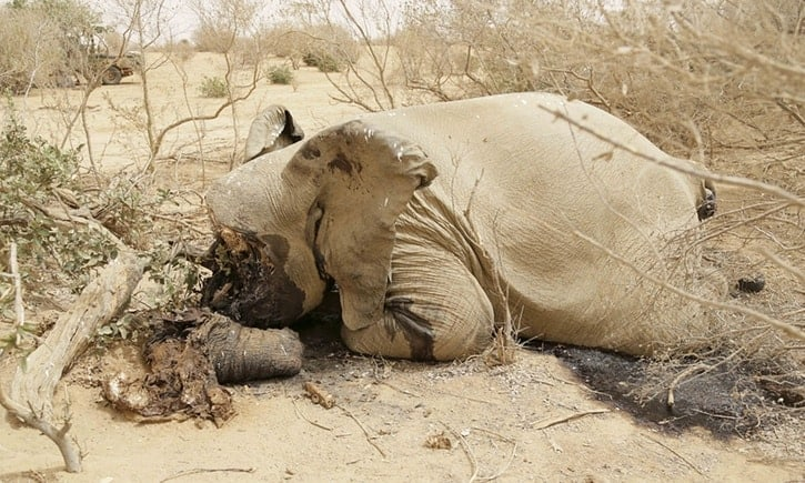 Mali's desert elephants face extinction within three years