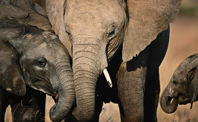 730,000 elephants are missing from protected areas in Africa