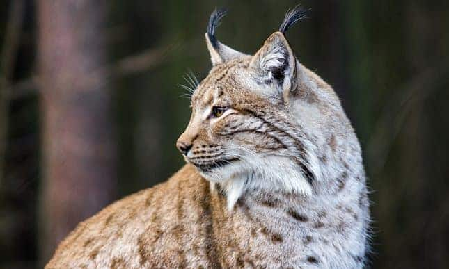 Campaigners seek to reintroduce Eurasian lynx to parts of Britain