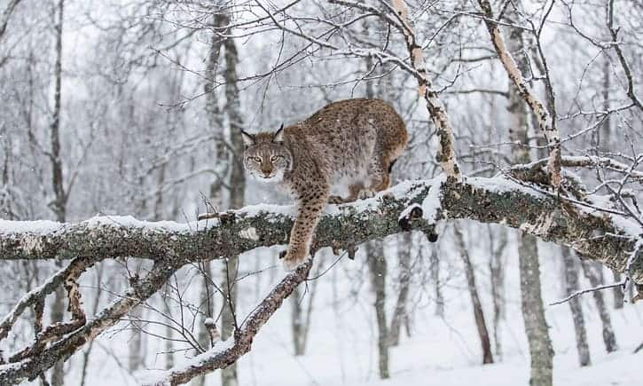 POLL: Should the lynx be reintroduced to Britain?