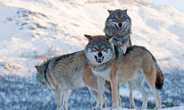 POLL: Would you support the reintroduction of the wolf in the UK?