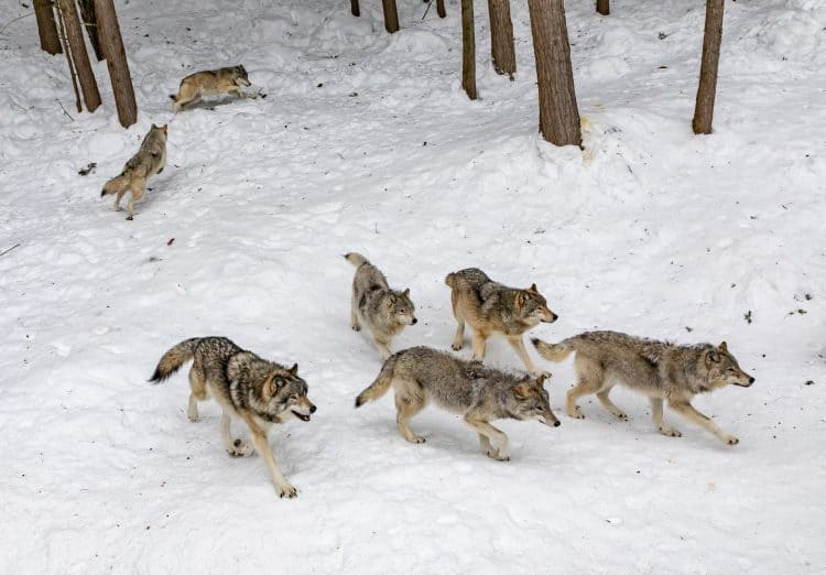 Hunters Killed Belgium's Only Wild Wolf in Over a Century