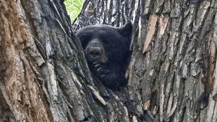 Colorado Parks and Wildlife has euthanized dozens of bears so far this year