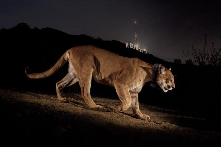 Famous Cougar That Was Holed Up Under L.A. House Returns to Wild