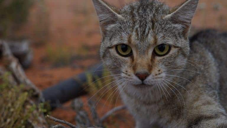 POLL: Should Australia's feral cats be culled?