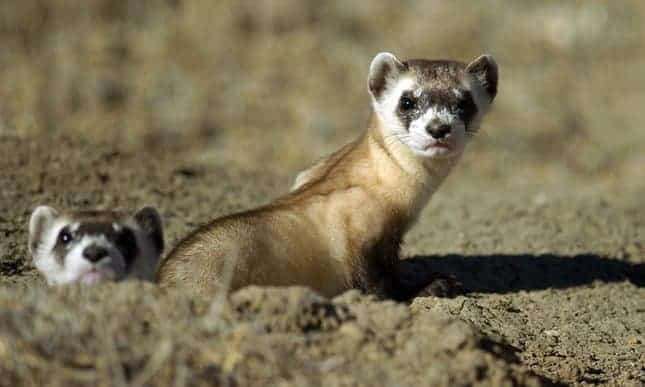 Drones to unleash vaccine-laced pellets to save endangered ferrets