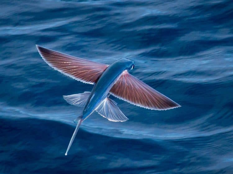 Video: Flying fish hunted from sea and sky in spectacular chase