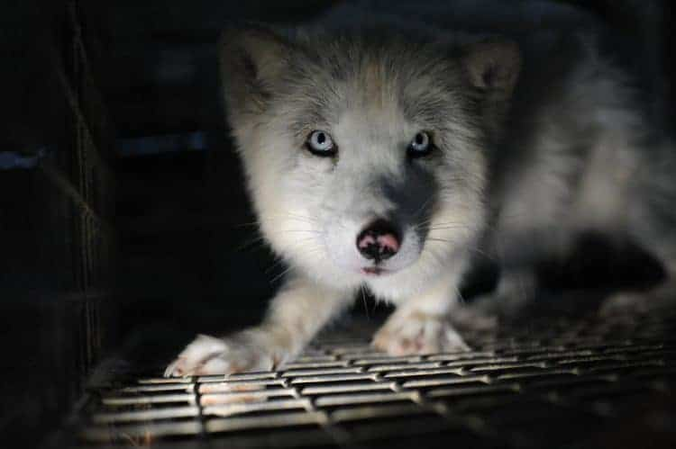 POLL: Should fur farms be banned and closed down?