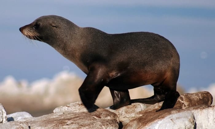 POLL: Should New Zealand fur seals be culled in South Australia?