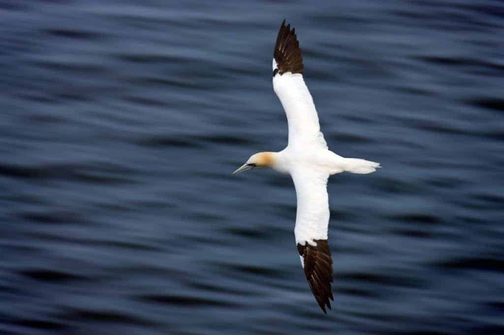 Gannets flight tracked in real time for the first time via 3G
