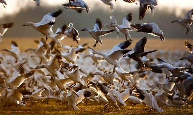At least 3,000 geese killed by toxic water from Montana copper mine