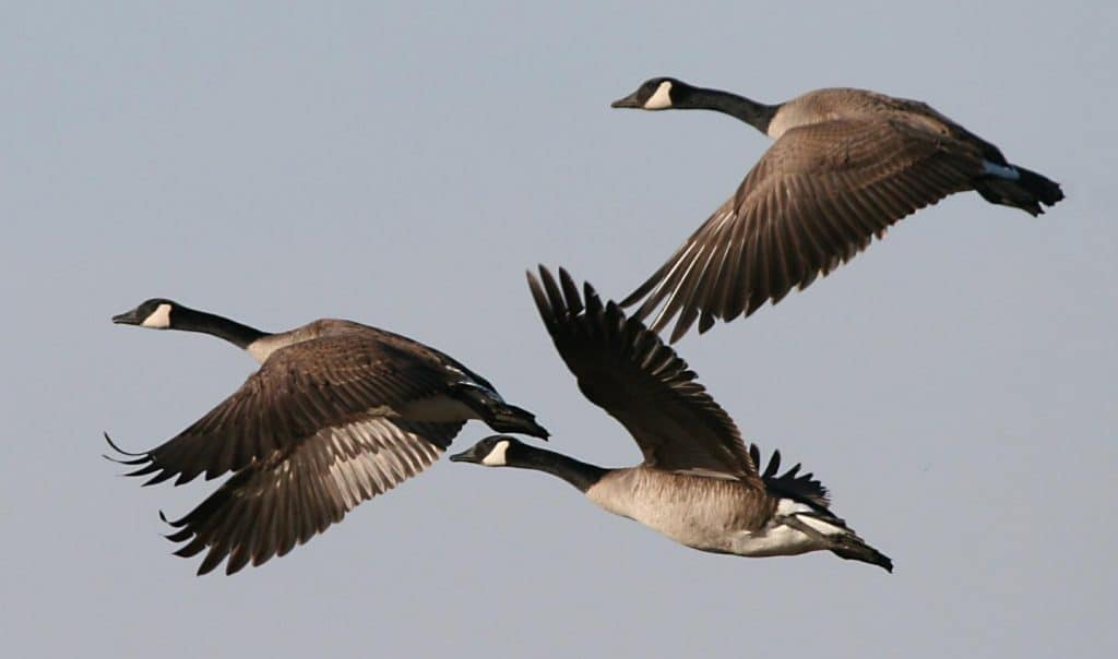 "POLL: Should ""year-round"" Canada goose ""management"" be allowed?"