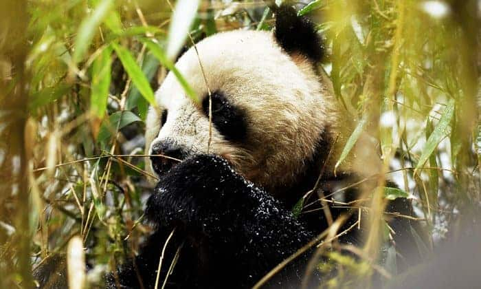 China to create 'giant' giant panda reserve to boost wild population