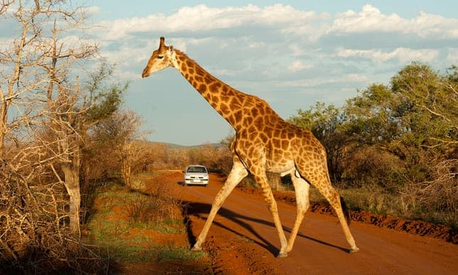 POLL: Should the trophy hunting of giraffes be made illegal?