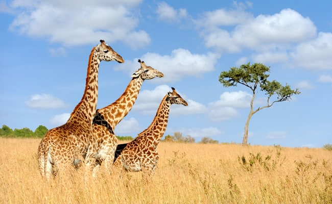 Shocking Investigation Shows How We're Pushing Giraffes to the Brink