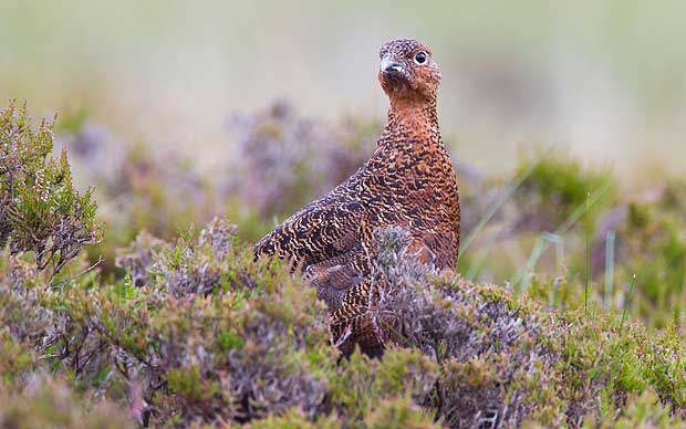 POLL: Should the Slaughter of Grouse be allowed to continue?