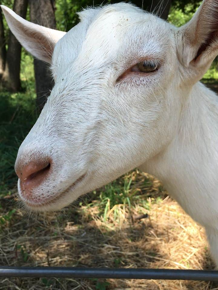 Goatsmile