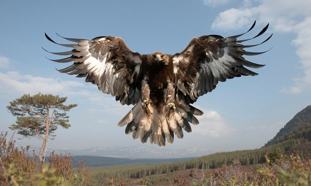 UK golden eagle population soars to new heights